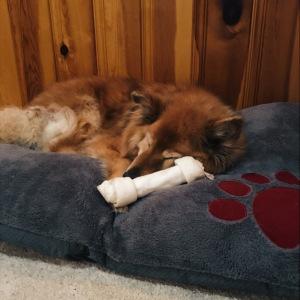 Photo of sleeping dog: Tasha the Chow-Collie-Retriever mix